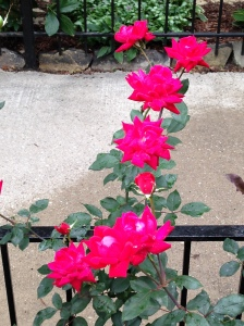 roses tall